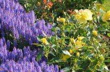 Botanikos sodo rožyne akį traukia netikėti deriniai