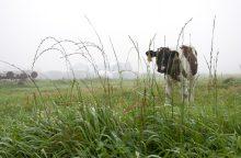 Bartonių kaime iš ganyklos pavogti gyvuliai