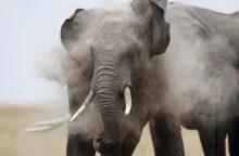 Tanzanijoje drambliai mirtinai sutrypė du žmones