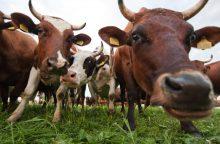 Parodyk miesto vaikui karvę: Vilniuje ganysis šimtai gyvulių