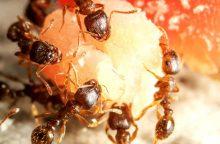 (Ne)pavojingos skruzdėlės: kaip apsisaugoti