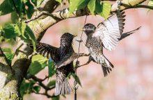 Renovuojant namus reikėtų nepamiršti ir paukščių