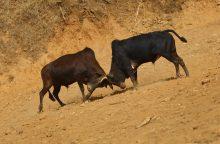 Nepalo žiemos šventėje – aršios bulių kovos
