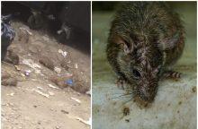 Pasibaisėjo vaizdu sostinėje: tiek žiurkių prie konteinerio dar neteko matyti