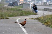 Klaipėdos miesto pakraštyje – fazanas