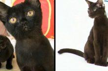 Bombėjaus katė – maža draugiška pantera