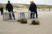 Ir šiemet teks gelbėti pilkųjų ruonių jauniklius