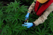 Kanados parlamentas pritarė kanapų legalizavimui