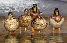Dėl žvejų tinklų vandens paukščiams gresia išnykimas