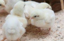 Viščiukai ūkiuose keičia kiaules