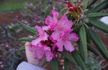 Kaune ruduo sprogdina rododendrų žiedus