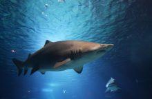Australijoje ryklio užpultas nardytojas valtimi atplaukė iki salos