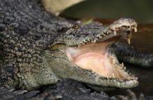 Australijoje sugautas aštuonerius metus ieškotas krokodilas