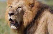 Ugandos nacionaliniame parke nunuodyta 11 liūtų