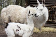 Zoologijos sode – jauniklė, gimusi juokų ir melagių dieną