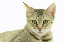 Piksi bobai – naminės katės lūšies kailyje