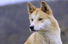 Itin reta veislė: šunys-dainininkai