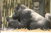 Vokietijoje užmigdyta seniausia Europos gorila