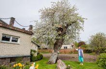 Lietuvos obelų motina pasidabino baltu nuometu