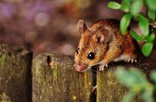 Pelės žmones apniko jau prieš 15 tūkst. metų