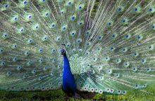 Kaip atrodo meilės ritualai gyvūnų pasaulyje?