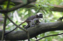 Lietuvos zoologijos sodo puošmena – nykstančios beždžionių rūšies jaunikliai